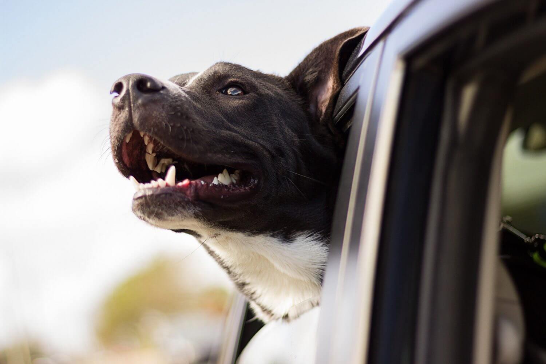 hund-aus-autofenster-glücklich